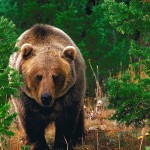 Forest_Wild_Grizzly_Bear-400